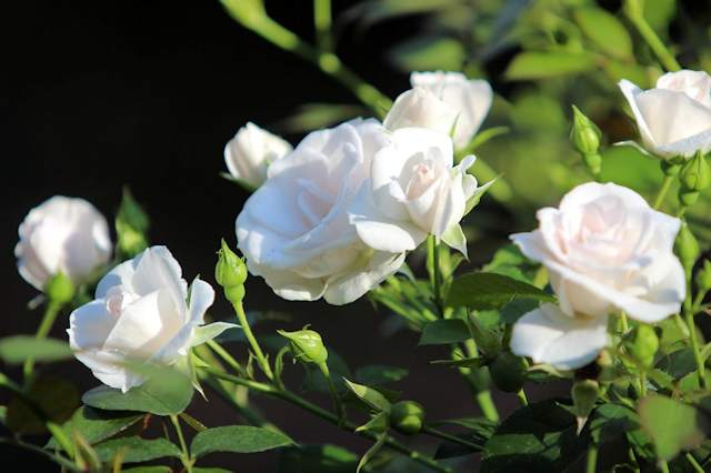 Die Rose 'Aspirin' kann ich für halbschattige Standplätze nur empfehlen. Sie ist robust und blüht unermüdlich vom Mai bis zum ersten Frost.